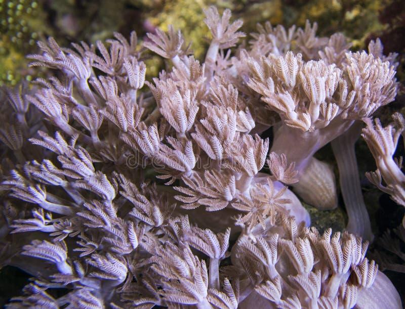 Xenia Coral Coralli d'ondeggiamento della mano immagine stock
