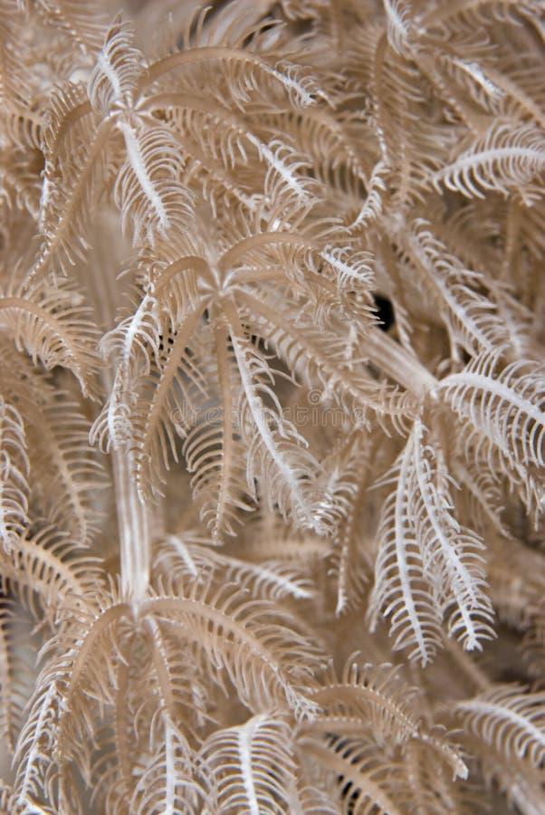 xenid glauca детали anthelia feathery стоковое фото rf