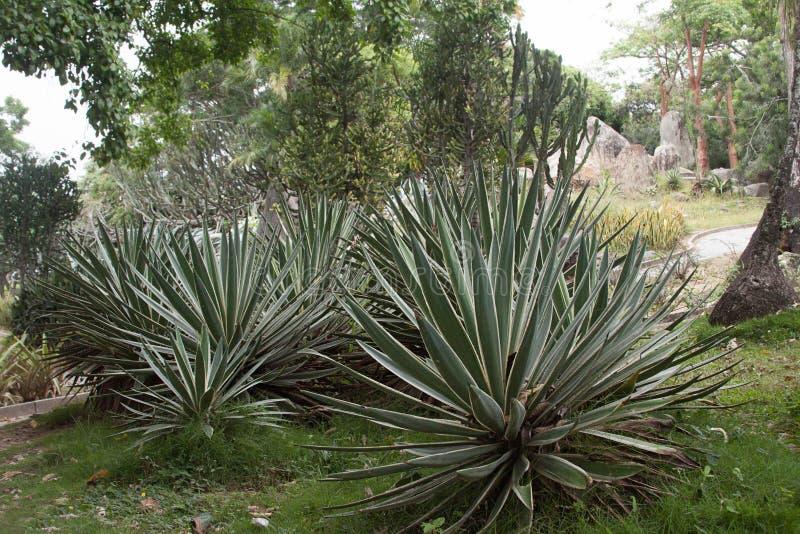 Xeriscapetuin, Cactus in Caracas Venezuela stock afbeelding