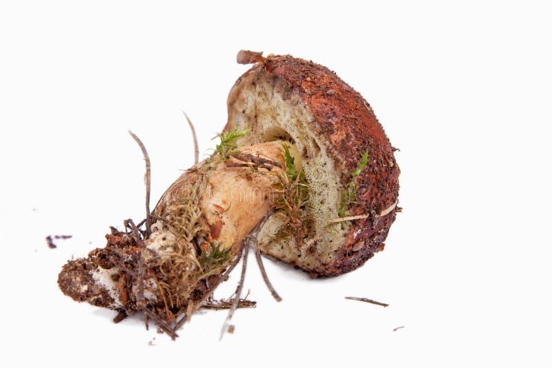 Download Xerocomus Badius Mushroom Isolated On White Stock Image - Image: 16420465
