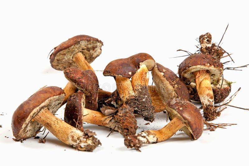 Xerocomus Badius Mushrooms Isolated On White Royalty Free Stock Photo