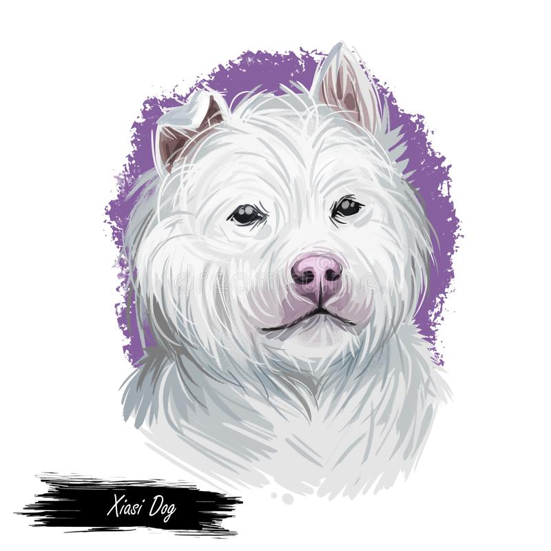 Xiasi dog breed portrait isolated on white. Digital art illustration, animal watercolor drawing of hand drawn doggy for web. Pet stock illustration