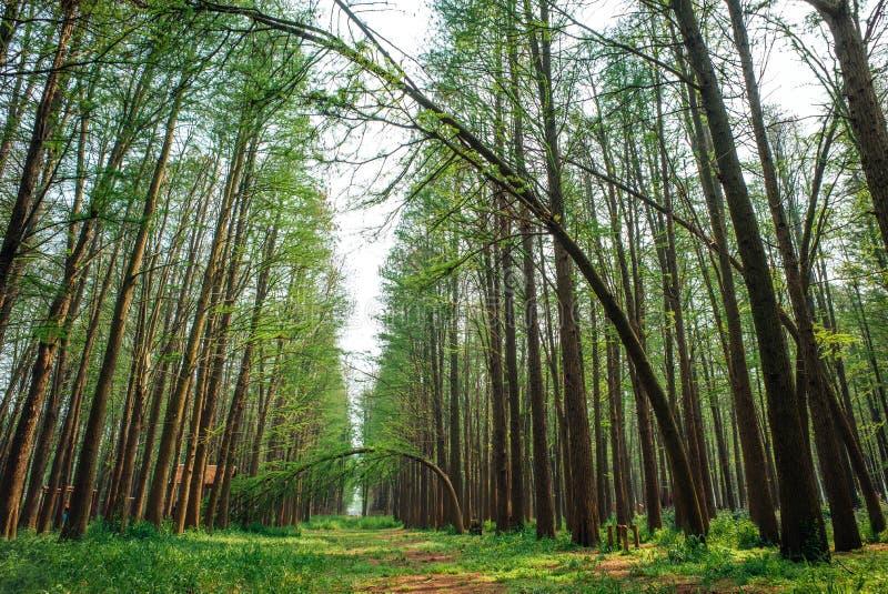 XINGHUA, CHINY: Lizhongshuishang las lub Li Zhong woda las jesteśmy naturalnym ekologicznym tlenu barem, jesteśmy dobrym miejscem zdjęcie stock