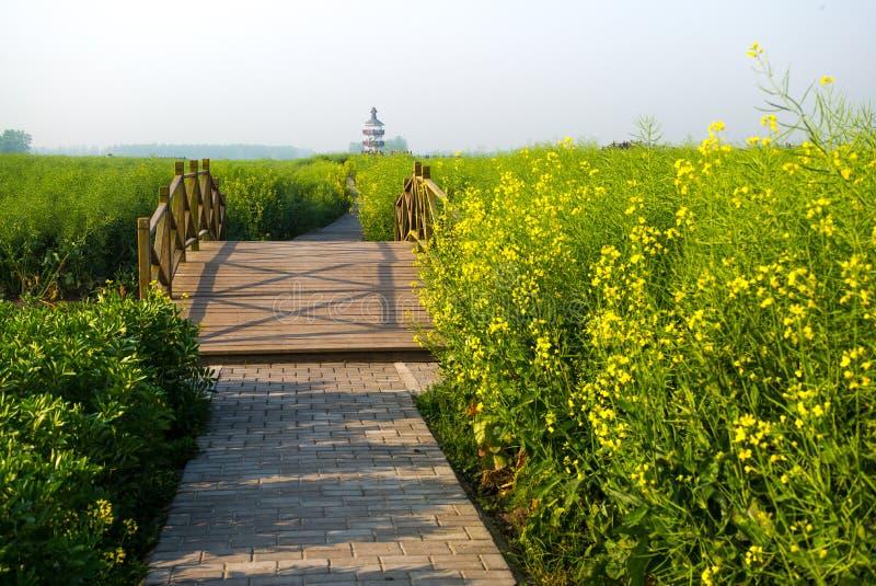 XINGHUA, CHINY: Przejście wzdłuż kanału w rapeseed polu przy rankiem fotografia stock