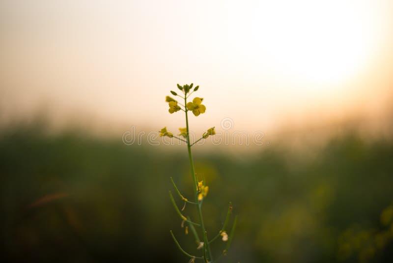 XINGHUA, CHINY: Rapeseed kwiat zdjęcie stock