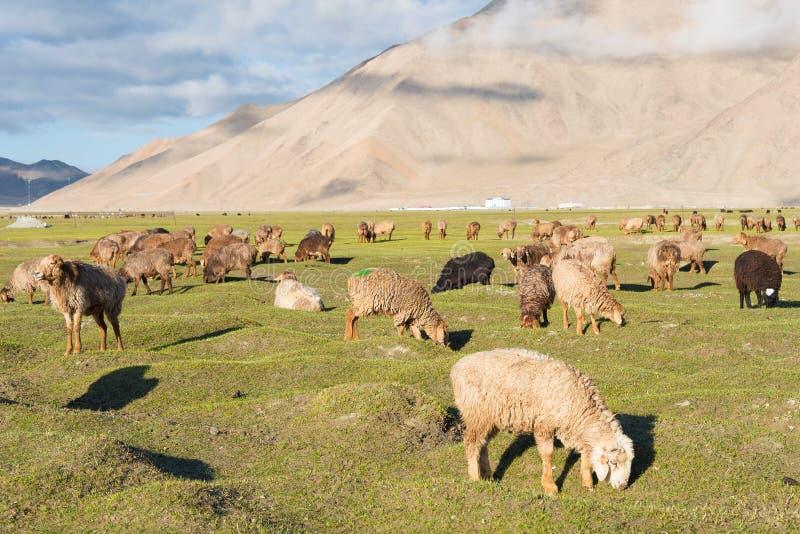 XINJIANG, CHINA - May 21 2015: Sheep at Karakul Lake. a famous l stock images
