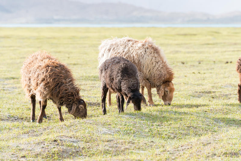 XINJIANG, CHINA - May 20 2015: Sheep at Karakul Lake. a famous landscape on the Karakoram Highway in Pamir Mountains, Akto County,. Kizilsu Kirghiz Autonomous stock photo