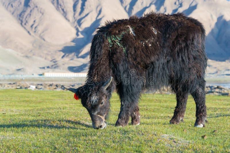 XINJIANG CHINY, Maj, - 21 2015: Yak przy Karakul jeziorem sławny lan obraz stock