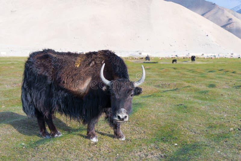 XINJIANG, CINA - 20 maggio 2015: Yak nel lago karakul una lan famosa immagine stock