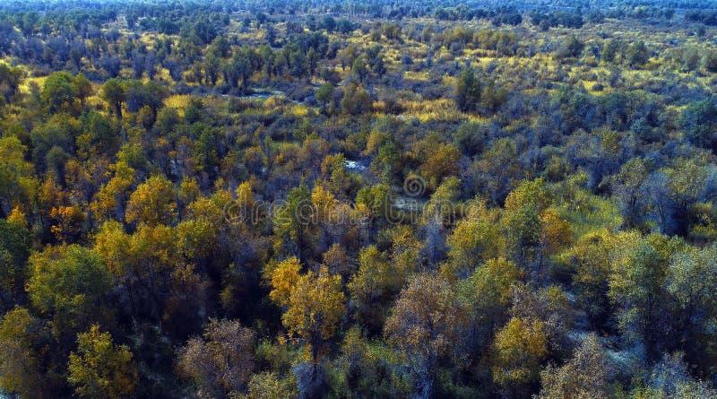 Xinjiang: het overzien van de bossen van Populus-euphraticabos royalty-vrije stock fotografie