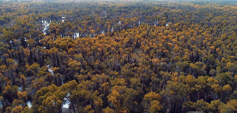 Xinjiang: przegapiać lasy Populus euphratica las zdjęcia stock