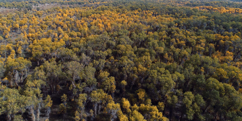 Xinjiang: Unterlassung der Wälder Populus euphratica Waldes stockfotografie