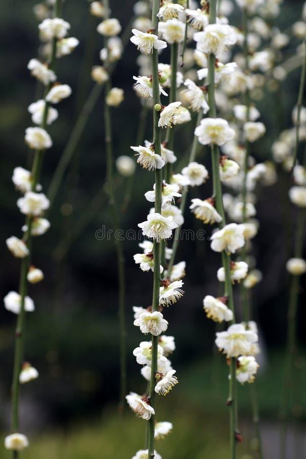 Download Xinzhuang Park plum stock photo. Image of plum, park - 14289524