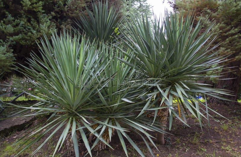 Xiphoid yucca royalty-vrije stock afbeelding