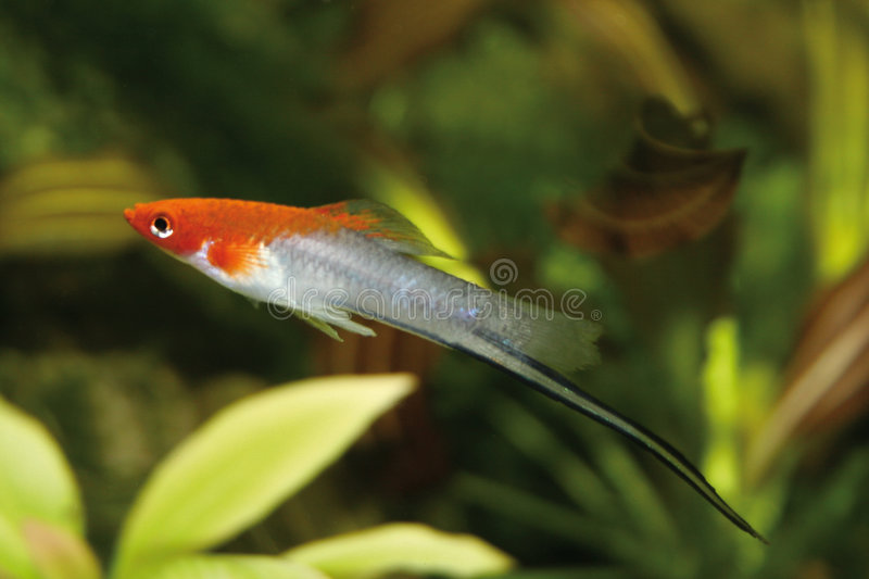 xiphophorus de hellerii images libres de droits