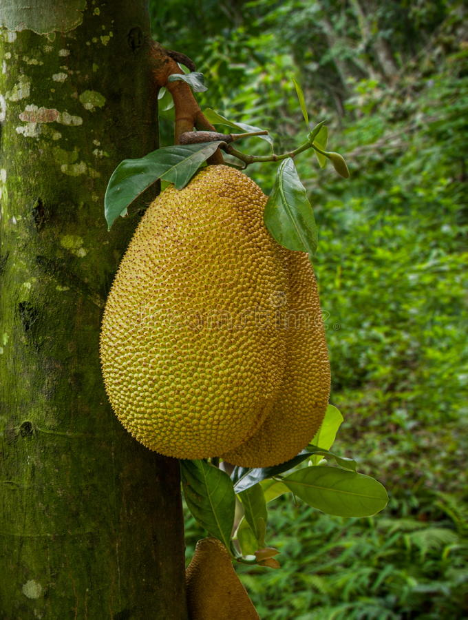 Xishuangbanna Xiaoganlanba jackfruit tree. Pineapple tree (ie, jackfruit, scientific name:. Artocarpus heterophyllus Lam) evergreen trees, jackfruit another name stock photos