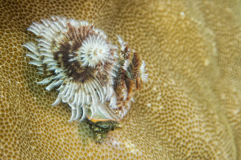 Xmas在坚硬珊瑚的树蠕虫在王侯Ampat巴布亚,印度尼西亚 库存照片
