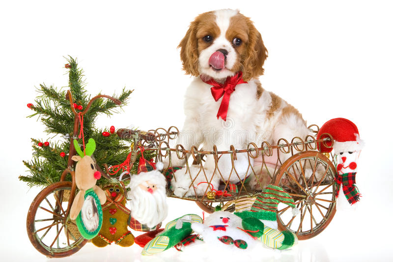 Xmas Cavalier King Charles Spaniel Pup Stock Photos