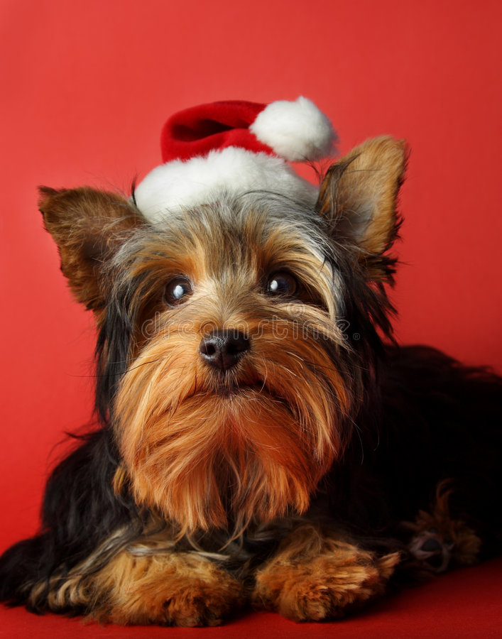 Xmas dog portrait. Little cute yorkshire dog with xmas santa hat stock image