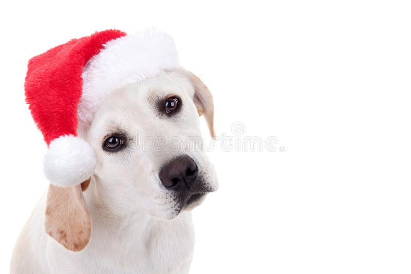 Christmas Xmas Santa Hat Pet Animal Puppy Dog royalty free stock photography