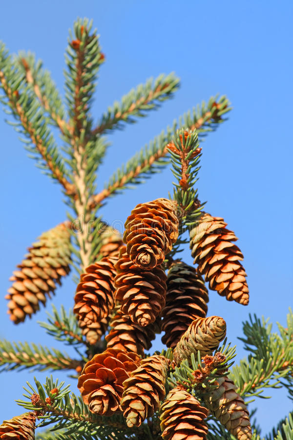 Download Xmas tree branch stock image. Image of green, cluster - 12412581