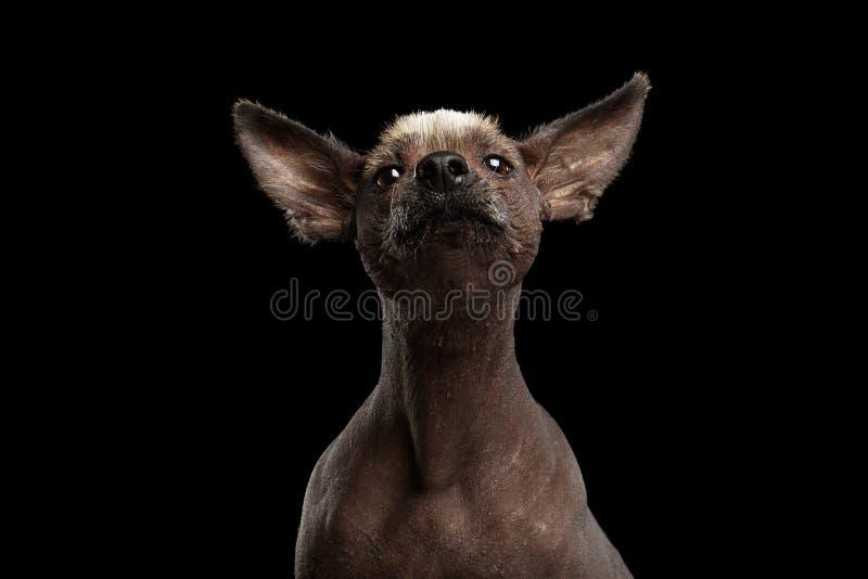 Xoloitzcuintle - άτριχη μεξικάνικη φυλή σκυλιών, πορτρέτο στούντιο στο μαύρο υπόβαθρο στοκ φωτογραφία