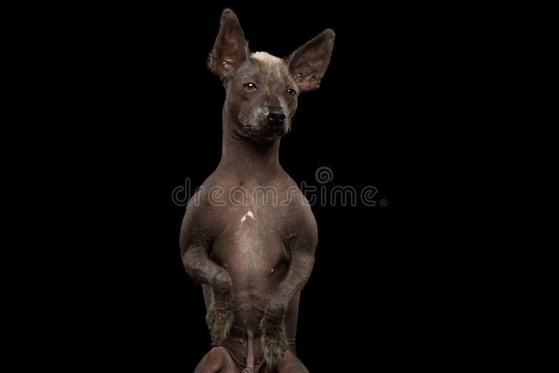 Xoloitzcuintle - άτριχη μεξικάνικη φυλή σκυλιών, πορτρέτο στούντιο στο μαύρο υπόβαθρο στοκ εικόνες
