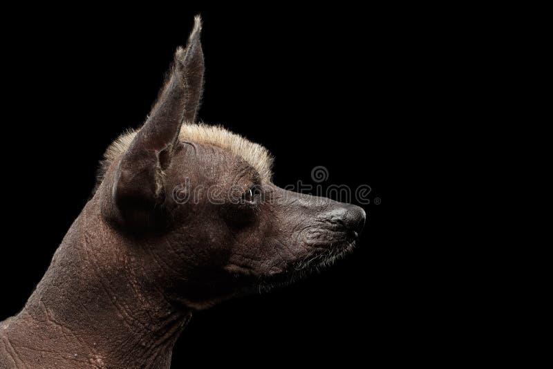 Xoloitzcuintle - άτριχη μεξικάνικη φυλή σκυλιών, πορτρέτο στούντιο στο μαύρο υπόβαθρο στοκ φωτογραφίες με δικαίωμα ελεύθερης χρήσης
