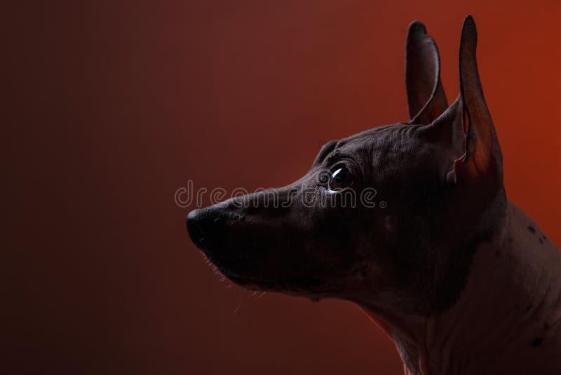 Xoloitzcuintle - άτριχη μεξικάνικη φυλή σκυλιών στοκ φωτογραφία