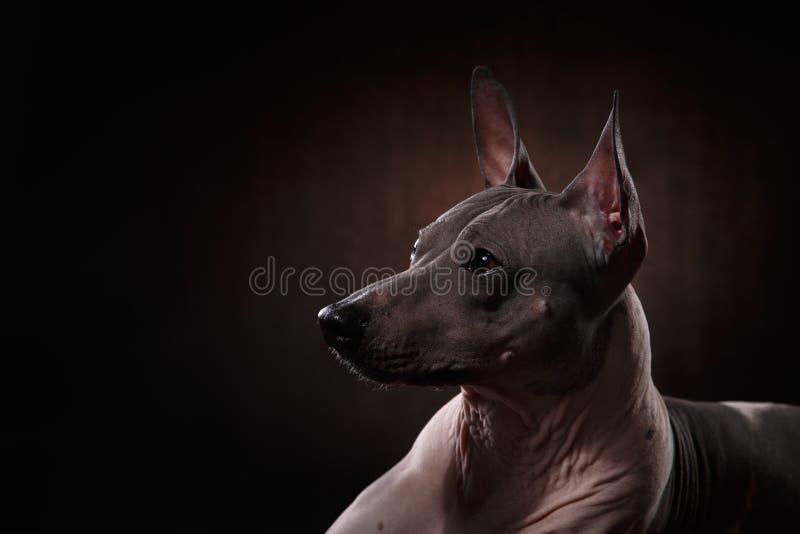 Xoloitzcuintle - безволосая мексиканская порода собаки стоковая фотография rf