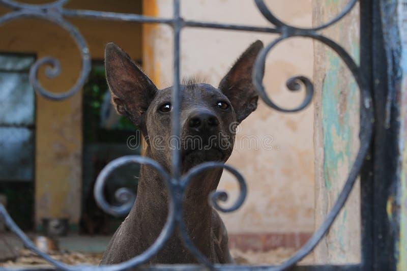 Xoloitzcuintle bak stängerna royaltyfri foto