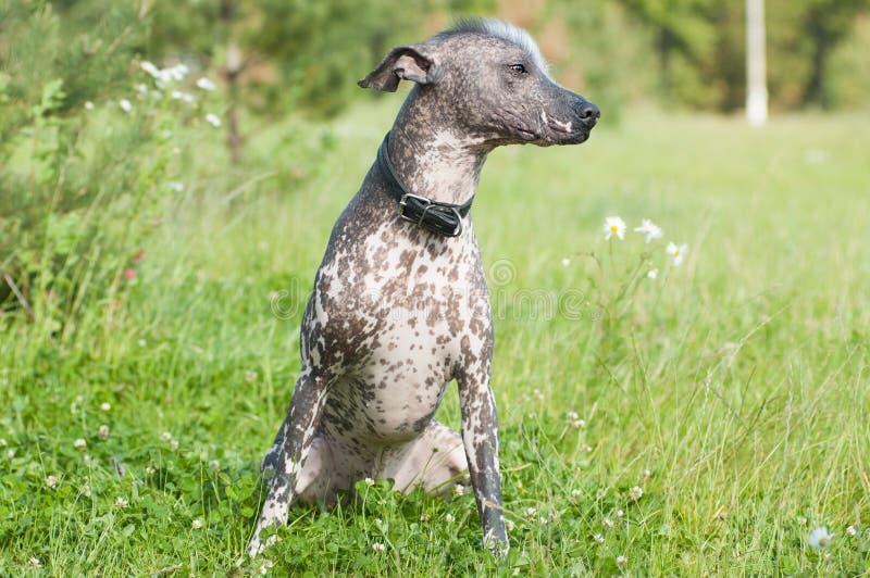 Xoloitzcuintle - cão calvo imagens de stock