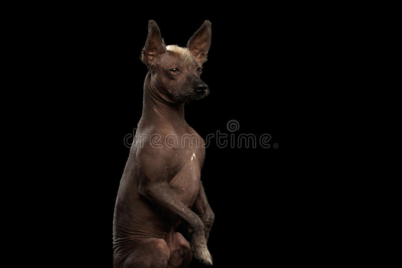 Xoloitzcuintle - hairless mexican dog breed, Studio portrait on Black background. Closeup Xoloitzcuintle - hairless mexican dog breed Sitting on hind legs stock images