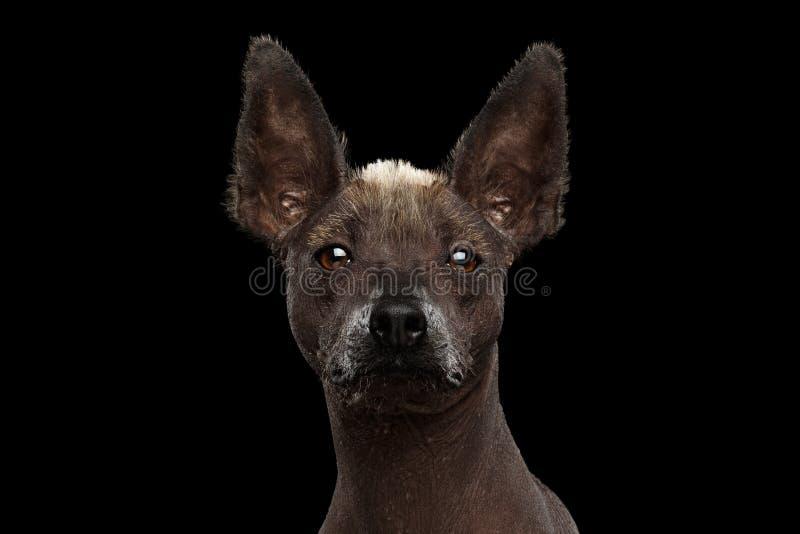 Xoloitzcuintle - raza mexicana sin pelo del perro, retrato del estudio en fondo negro fotos de archivo libres de regalías