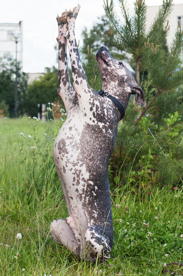 Xoloitzcuintle - supporto messicano glabro del cane sulla gamba posteriore fotografia stock libera da diritti
