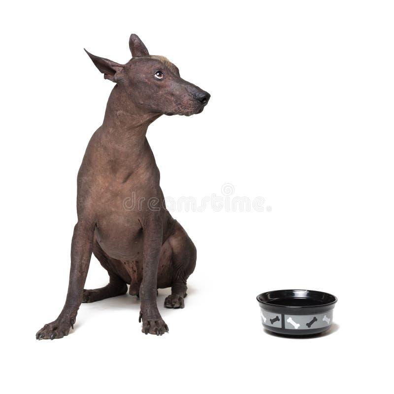 xoloitzcuintli, μεξικάνικο άτριχο σκυλί, αναμονή και βλέμματα για να έχει επάνω γεμισμένα τα κύπελλο τρόφιμά του στο άσπρο υπόβαθ στοκ εικόνα