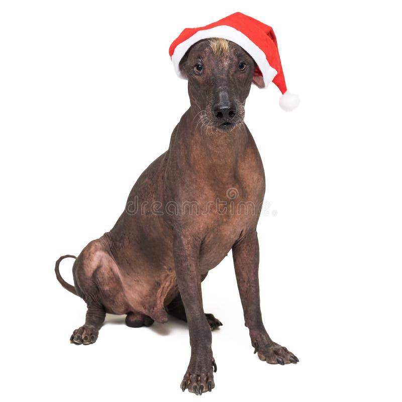 Xoloitzcuintli chauve mexicain de chien avec le chapeau rouge de Noël se reposant dans la vue de face D'isolement sur le fond bla image stock