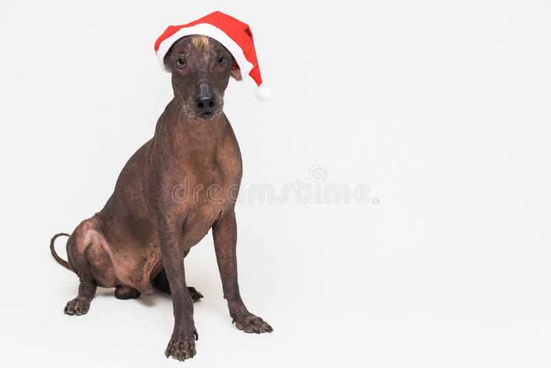 Xoloitzcuintli chauve mexicain de chien avec le chapeau rouge de Noël se reposant dans la vue de face sur le fond gris image stock