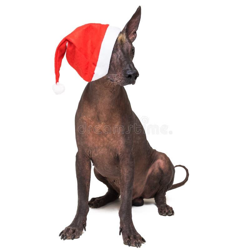 Xoloitzcuintli chauve mexicain de chien avec les yeux rouges de couverture de chapeau de Noël D'isolement sur le fond blanc photographie stock libre de droits