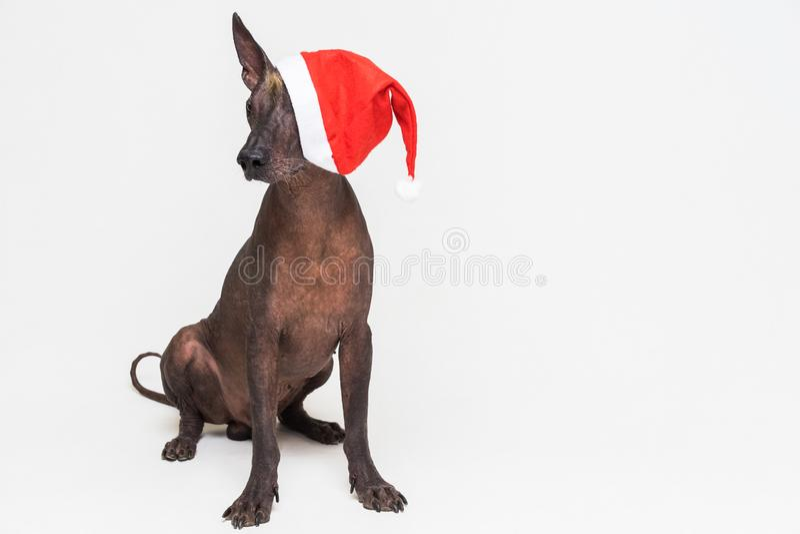 Xoloitzcuintli chauve mexicain de chien avec les yeux rouges de couverture de chapeau de Noël D'isolement sur le fond gris photographie stock