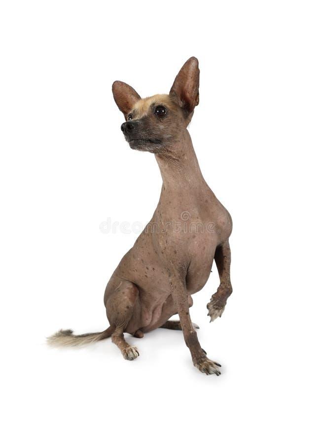 Xoloitzcuintli-hond zit met één poot op een witte achtergrond royalty-vrije stock afbeeldingen