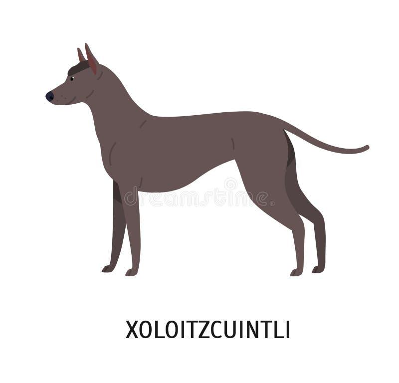 Xoloitzcuintli oder Xolo Reizender netter mexikanischer unbehaarter Hund lokalisiert auf weißem Hintergrund Herrliches reinrassig stock abbildung