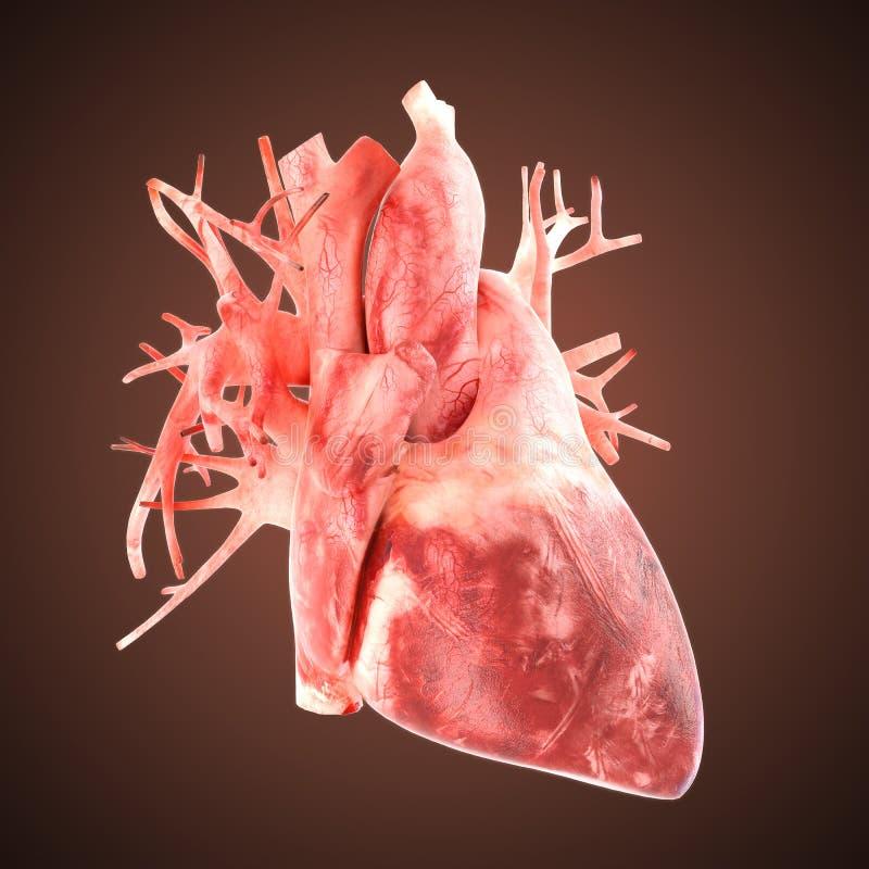 Xray heart illustratio. Anatomicaly accurate stock illustration