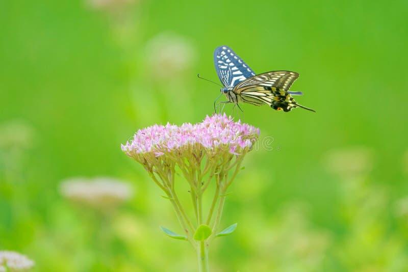 Xuthus Papilio стоковые изображения rf