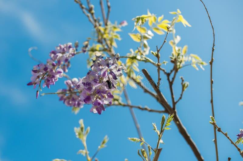 Xylocopa Valga пчелы плотника опыляет пурпур и Wis лаванды стоковые фотографии rf