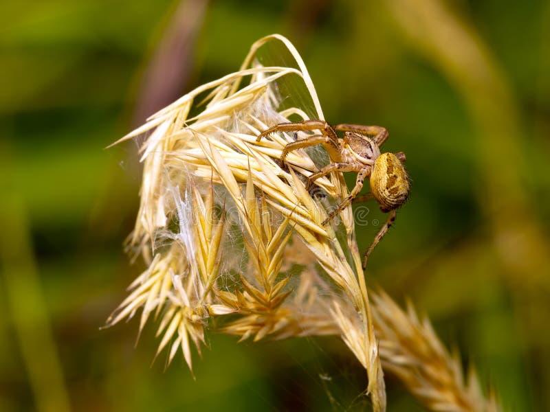 Xysticus Araña de tierra femenina del cangrejo en hábitat natural Macro imágenes de archivo libres de regalías