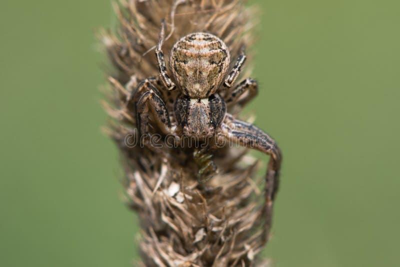 Xysticus cristatus在草的螃蟹蜘蛛 免版税库存图片