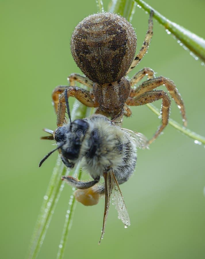 Xysticus-Spinnenj?ger, der kleine gestorbene Honigbiene isst stockfoto