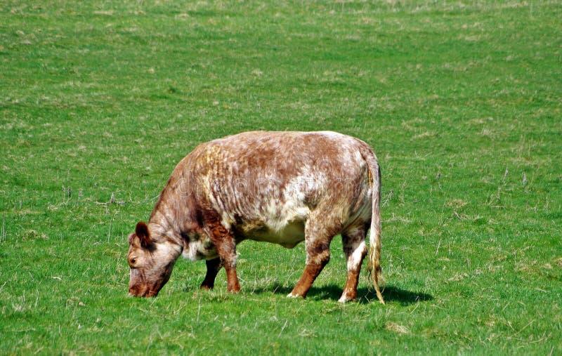 Żyłkowany Bullock w polu zdjęcia royalty free