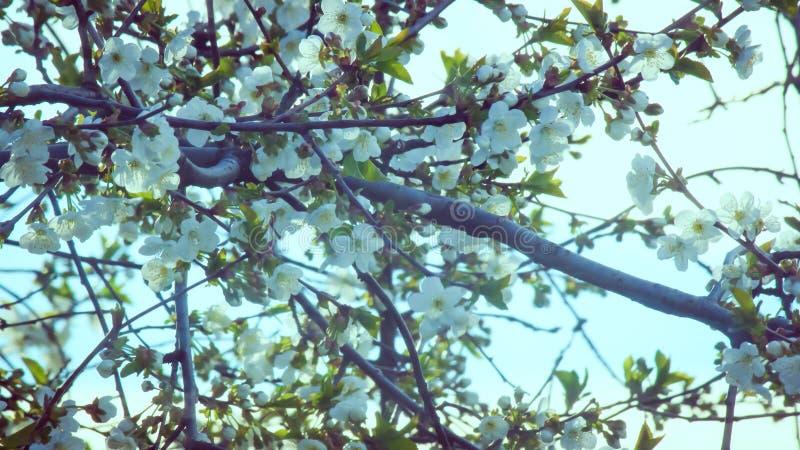 Y la cereza floreció otra vez en la primavera fotografía de archivo libre de regalías